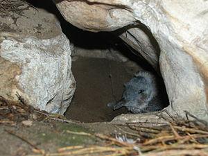 Little penguin - Chick in nest burrow