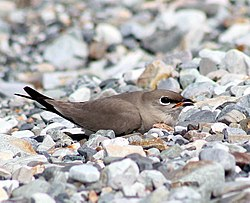 Little Pratincole.jpg