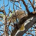 Little corella at Boulia Wildlife Haven Herbert St Boulia Queensland P1030435.jpg
