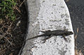 Lizard scotts valley.JPG