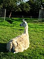 Llama near Westend House - geograph.org.uk - 249047.jpg