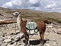 Lloyd the Llama.jpg