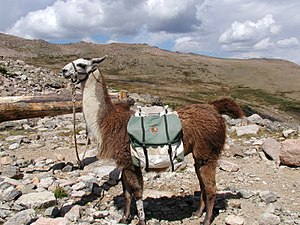 Working animal - A pack llama