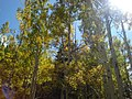 Lockett Meadow aspen (3878767963).jpg