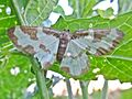 Lomaspilis marginata (Clouded border), Elst (Gld), the Netherlands.jpg