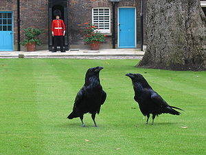 image of London tower ravens