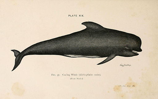 Long-finned Pilot Whale (6002011771)