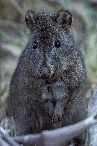 Long-nosed potoroo - Long-nosed potoroo in Tidbinbilla Nature Reserve, ACT, Australia