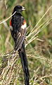Longtailed Widowbird, Euplectes progne in early summer breading plumage at Rietvlei Nature Reserve, Gauteng, South Africa (15665891771).jpg