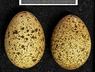 Himalayan monal - Eggs, collection Museum Wiesbaden
