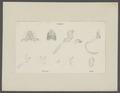 Lophos philargius - details - - Print - Iconographia Zoologica - Special Collections University of Amsterdam - UBAINV0274 096 02 0004.tif
