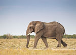 Loxodonta africana - Etosha 2013.jpg