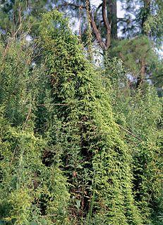 <i>Lygodium japonicum</i> Species of fern
