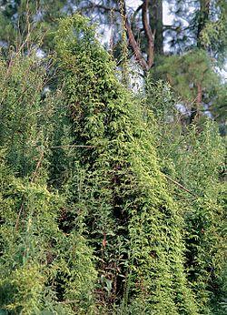 Lygodium japonicum.jpg