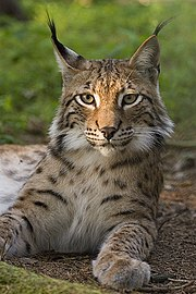 180px Lynx lynx poing