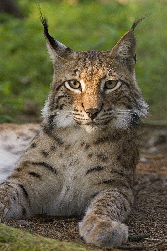 Lynx lynx poing