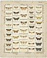 MA I437618 TePapa Plate-XIX-The-butterflies full.jpg