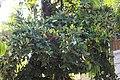 Mabolo Fruit (03) (03-07-2021).jpg