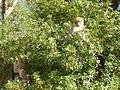 Macaque berbère à Ziama Mansouriah 15 (Algérie).jpg