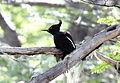 Magellanic Woodpecker (Campephilus magellanicus) (15772775428).jpg