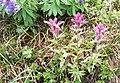 Magenta Castilleja parviflora var. oreopola (7968462724).jpg