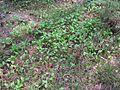 Maianthemum bifolium 5807.jpg