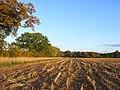 Maize stubble, Padworth - geograph.org.uk - 1015385.jpg