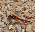 Majorca red dragonfly.png