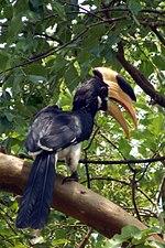 Malabar Pied Hornbill123 (cropped).jpg