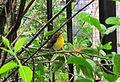 Malaysian Sunbird.JPG