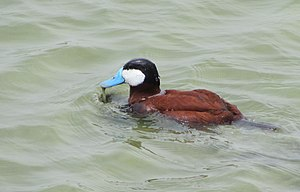 Male Ruddy Duck (oxyura jamaicensis) at Texas Coast.jpg