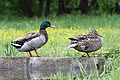 Mallards in shelby park.jpg