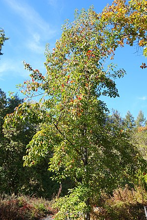 Malus doumeri - Image: Malus doumeri Quarryhill Botanical Garden DSC03639