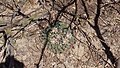 Mammillaria heyderi (26059092696).jpg