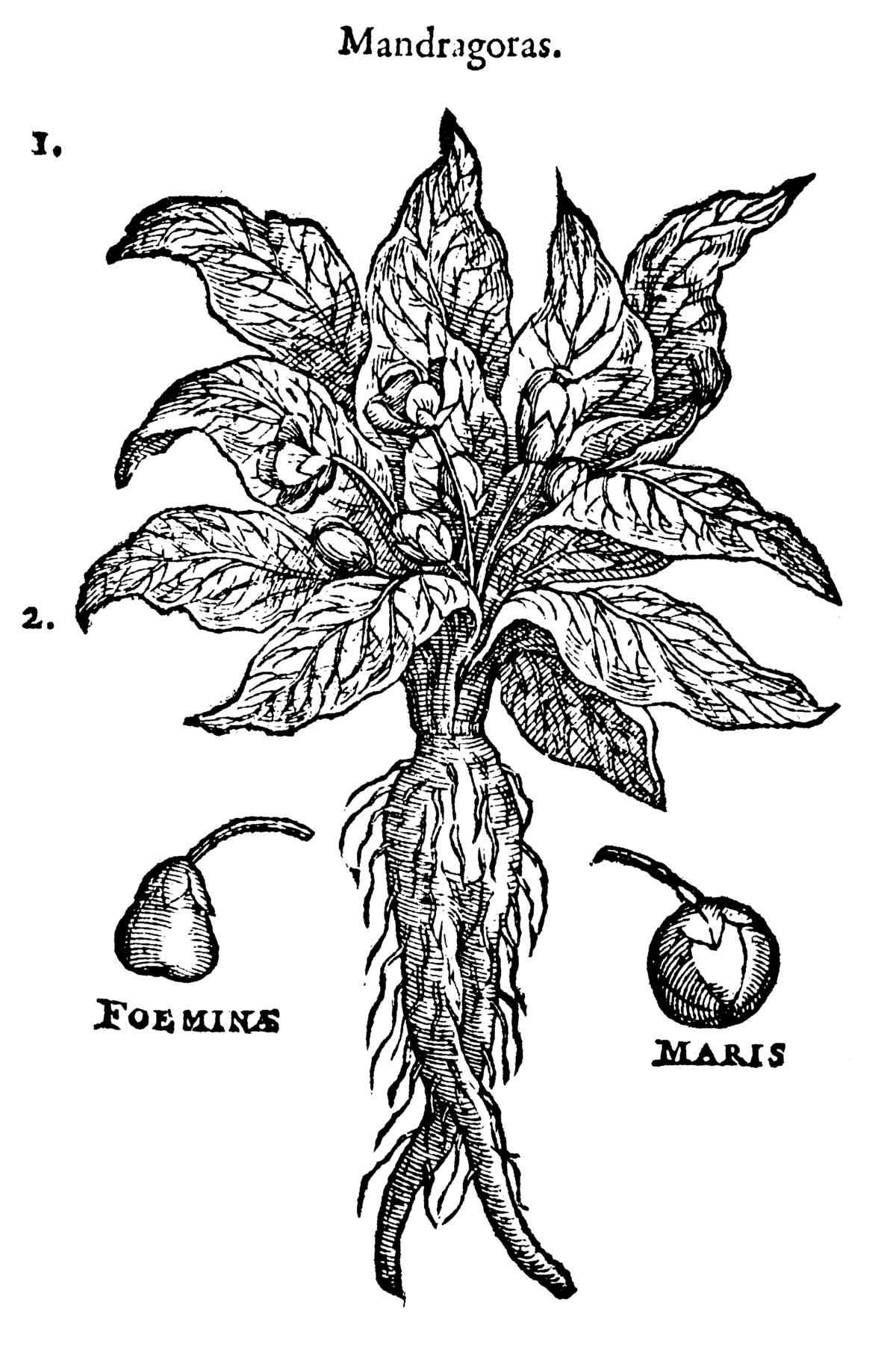 mandrake wikipedia