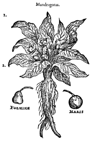 "Mandrake - The so-called ""female"" and ""male"" mandrakes, from a 1583 illustration"