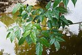 Mangrove Trumpet Tree5512.jpg