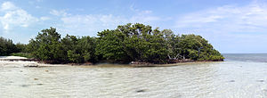 English: A mangrove forest near Islamorada, Fl...