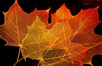 Broad-leaved tree - Image: Maple leaf structure