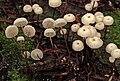 Marasmius rotula (Scop.) Fr 752162.jpg