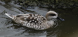 Marbled duck.jpg