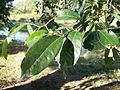 Margaritaria discoidea leaves.JPG