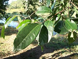 Margaritaria discoidea leaves.JPG