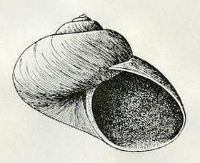 Margarites helicinus 002.jpg