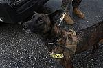 Marine Corps dog handlers rehearse explosive detection measures 150204-M-TA471-643.jpg
