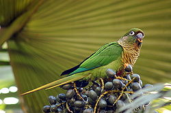 Maroon-bellied Conure (Pyrrhura frontalis) -eating fruit.jpg