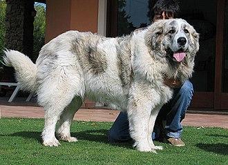 Pyrenean Mastiff - Pyrenean Mastiff