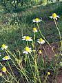 Matricaria chamomilla German.JPG