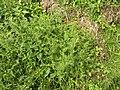 Matricaria discoidea plant (06).jpg