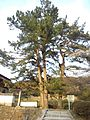 Matsudaira-gô - Pine tree in front of the Kôgetsu-in Buddhist Temple.jpg